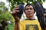 Petani menunjukkan buah kakao di lereng Gunung Wilis yang rusak diserang penggerek buah, Senin (4/1/2015). (JIBI/Solopos/Antara/Siswowidodo)