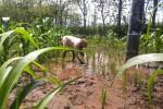Lantingah sedang menanami ulang padi di sawahnya di Dusun Karangasem, Desa Mulo, Kecamatan Wonosari, Gunungkidul yang tergenang air sejak hujan deras mengguyur Wonosari kemarin sore,Jumat (22/1). Foto diambil Sabtu (23/1/2016) (Mayang Nova Lestari/JIBI/Harian Jogja)