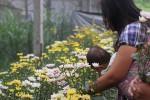 Bunga krisan (Asih Prambudi/JIBI/Harian Jogja)