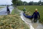 Ilustrasi panen paksa padi terendam banjir (JIBI/Solopos/Antara/Aguk Sudarmojo)