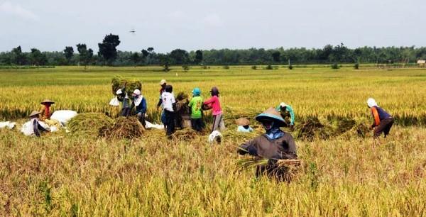 Panen padi di persawahan Bojonegoro. (JIBI/Solopos/Antara/Slamet Agus Sudarmojo)