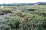 PERTANIAN MADIUN : Padi Ambruk, Petani Madiun Terpaksa Panen Dini