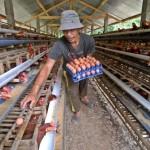 FOTO PETERNAK AYAM : Harga Pakan Ternak Tinggi, Peternak Merugi