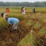 Petani di wilayah Jembungan, Kecamatan Banyudono, Boyolali, memanen padi. Foto diambil belum lama ini. (Hijriyah Al Wakhidah/JIBI/Solopos)