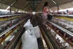 Petugas di salah satu kandang peternakan ayam petelur di Ngemplak, Sleman, memberi pakan untuk ayam-ayam, Rabu (3/2/2016). (Bernadheta Dian Saraswati/JIBI/Harian Jogja)