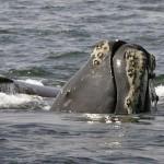 Paus Right yang diklaim sangat langka ini terlihat di Samudera Atlantik. (Istimewa/Dailymail.co.uk)