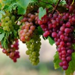 HASIL PENELITIAN : Ini Penjelasan Kenapa Anggur Bisa Mencegah Kebutaan