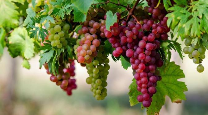 Buah anggur (liputan6.com)