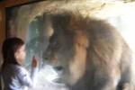 Gadis kecil yang berhadapan dengan singa (Mirror)