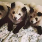 Panda Chow Chow (Oddity)