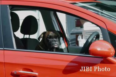 Anjing mengendarai Vauxhall (Youtube)