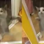 Kucing lucu, lompat-lompat sambil tepuk tangan. (Istimewa)