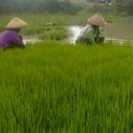 Petani Desa Kismoyoso, Ngemplak, Boyolali, mencabut bibit padi yang siap ditanam di sawah, Rabu (6/4/2016). (Muhammad Ismail/JIBI/Solopos)