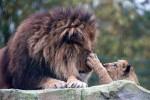 Singa jantan memberikan kasih sayang pada anaknya (Mirror)