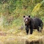 Beruang Ussuri (www.wildlifepics.eu)