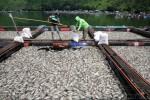 Ribuan Ikan Nila dan Emas di Danau Toba Mati, Ini Fotonya
