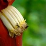 Ilustrasi bunga pisang (Recipesduniya.com)