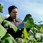 OBAT HERBAL : Daun Yakon, Alternatif Mengobati Kencing Manis
