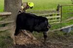 Kepala sapi terjebak di lubang pohon (North Yorkshire Fire)