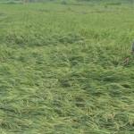 CUACA EKSTREM KULONPROGO : Angin Kencang Robohkan Belasan Hektare Padi