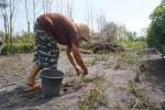 Marjiyati, petani cabai di Dusun Ring I Bugel, Bugel, Panjatan memutuskan untuk memanen semua cabai yang tersisa di kebunnya, Jumat (24/6/2016). (Sekar Langit Nariswari)