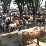 Puluhan pedagang sapi beraktivitas di Pasar Sapi Singkil Boyolali, Kamis (16/6/2016). (Hijriyah Al Wakhidah/JIBI/Solopos)