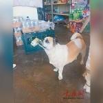 Anjing lucu yang sering bantu majikannya jajan di warung. (Istimewa)