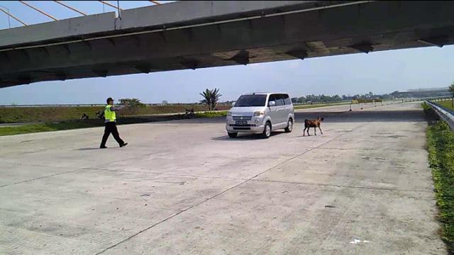 Kambing-kambing berada di tengah-tengah ruas jalan tol Solo-Kertosono, Sawahan, Ngemplak, Boyolali, Minggu (3/7/2016). (Aries Susanto/JIBI/Solopos)