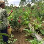 Misdi memanen bunga mawar di kebun miliknya di Dusun Pelem, Desa Jombong, Kecamatan Cepogo, Rabu (29/6/2016). (Mariyana Ricky P.D./JIBI/Solopos)