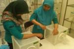 Devriana Luthfi (kiri) dan Iva Fitriana (kanan), volunter yang bertugas di insektarium EDP, Pusat Kedokteran Tropis UGM saat memberi makan nyamuk berwolbachia dengan tangannya. (Sunartono/JIBI/Harian Jogja)