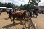 Suasana pasar hewan Imogiri, Bantul, Senin (25/7/2016). Harga hewan ternak di Pasar Hewan Bantul seperti sapi dan kambing sudah mulai mengalami kenaikan menjelang Iduladha. (Yudho Priambodo/JIBI/Harian Jogja)
