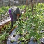 Petani tomat di Dukuh Cetho, Gumeng, Jenawi, Hariyanti, menyiangi rumput di lahannya, Jumat (21/7/2016). (Kurniawan/JIBI/Solopos)