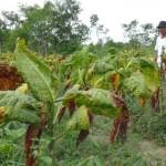 Petani tembakau asal Dusun Kebonluwak, Desa Ringinlarik, Kecamatan Musuk, Cipto Suparmo, 78, mengecek tanaman tembakau yang terkena penyakit kerupuk akibat curah hujan tinggi, Senin (2/8/2016). (Hijriyah Al Wakhidah/JIBI/Solopos)