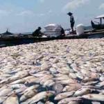 Bangkai ikan nila dan mas mengambang di permukaan keramba milik Mitra Usaha di Waduk Kedung Ombo (WKO) sebelah timur, tepatnya di kawasan Ngasinan, Ngargotirto, Sumberlawang, Sragen, Selasa (24/8/2016). (Moh. Khodiq Duhri/JIBI/Solopos)