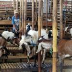 IDUL ADHA : Pedagang Kambing di Semanggi Solo Tambah Stok Hewan Kurban