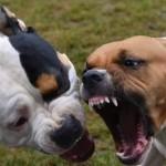 KISAH TRAGIS : 2 Anjing Pitbull Serang Pria Hingga Meninggal Dikurung di Polres Kediri