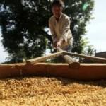 Ilustrasi penjemuran gabah hasil panan petani. (JIBI/Solopos/Antara/Rahmad)