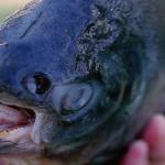 Ikan Pacu yang ditemukan di Danau Michigan, AS. (Istimewa)