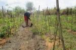 Ngatemi sedang menggarap lahan pertanian di Zona inti Gumuk Pasir di sekitar pantai Parangkusumo, Desa Parangtritis, Kecamatan Kretek, Kabupaten Bantul. Kamis (18/8/2016). (Irwan A. Syambudi/JIBI/Harian Jogja)