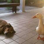 Anjing bersahabat dengan bebek (Facebook)