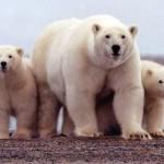 Beruang kutub (Reuters)