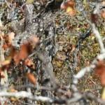 Foto burung hantu bersembunyi di pohon (Daily Mail)