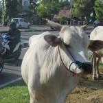 eberapa sapi yang masih belum laku terjual di pinggir Jalan Ring Road Selatan no 434, Dusun Krapyak Kulon, Desa Panggungharjo, Kecamatan Sewon, Bantul. Senin (5/9/2016). (Irwan A. Syambudi/JIBI/Harian Jogja)