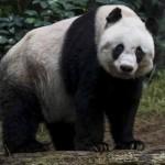 KISAH UNIK : Kesehatan Melemah, Panda Tertua Disuntik Mati