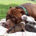 KISAH UNIK : Wow, Anak Anjing Pitbull Ini Dihargai Rp1,3 Miliar