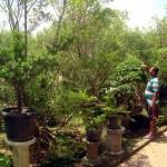 PELUANG USAHA : Inilah Kampung Bonsai di Sragen