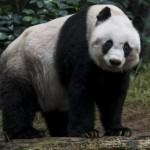 Panda Raksasa Ini Terpaksa Disuntik Mati
