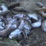 Ilustrasi hama tikus tangkapan petani. (JIBI/Solopos/Antara/Yusuf Nugroho)
