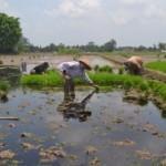 PENCEMARAN LINGKUNGAN SUKOHARJO : Limbah Ciu Dibuang ke Irigasi, Petani Protes