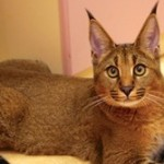 Kucing jenis  Caracal dan Abyssinian termasuk langka. (Istimewa)